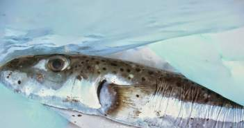 Επικίνδυνο είδος ψαριού πιάστηκε στην ευρύτερη περιοχή του Μύτικα