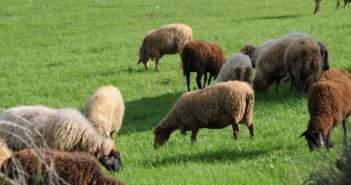 Έκλεψαν 35 πρόβατα από στάνη στην Κατούνα!