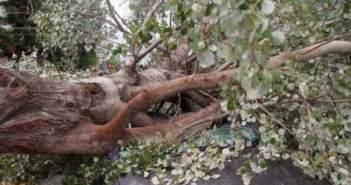 """Αχαΐα: Η μανία του καιρού """"ξερίζωσε"""" δέντρο 400 ετών! """"Προσγειώθηκε"""" πάνω σε αυτοκίνητο!"""