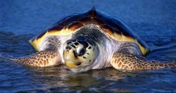Νεκρή χελώνα μεγάλη καρέτα – καρέτα στη Τουρλίδα (ΔΕΙΤΕ ΦΩΤΟ)