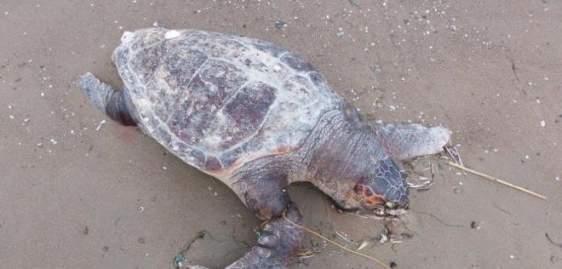 Δυτική Ελλάδα: Άλλη μια θαλάσσια χελώνα νεκρή… – ΦΩΤΟΓΡΑΦΙΑ