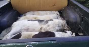 Φόλες σε κυνηγόσκυλα στην Ποκίστα της Oρεινής Ναυπακτίας (ΦΩΤΟ)