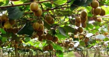 """Ανακοίνωση για τους παραγωγούς ακτινιδίου από τον Αγροτικό Σύλλογο Αιτωλοακαρνανίας """"Αχελώος"""""""