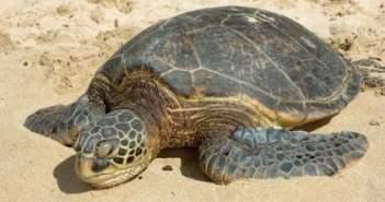 Ηλεία: Μία χελώνα Caretta – Caretta αργοπεθαίνει (ΔΕΙΤΕ ΒΙΝΤΕΟ)