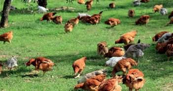 Προσωρινή απαγόρευση στα πουλερικά ελευθέρας βοσκής