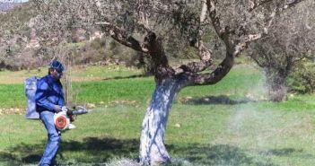 Ξεκινά ο ψεκασμός για τον δάκο στην Αιτωλοακαρνανία