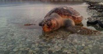 Ναύπακτος: Νεκρή χελώνα καρέτα – καρέτα στο Γρίμποβο (ΔΕΙΤΕ ΦΩΤΟ)