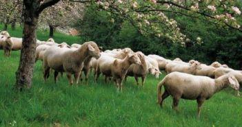 Πληρώνονται 29 εκατ. ευρώ σε 7.000 δικαιούχους του προγράμματος Βιολογικής Κτηνοτροφίας