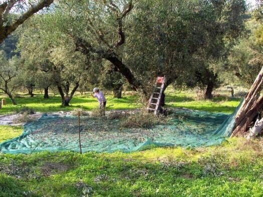 Μεσολόγγι: Άγνωστοι «σήκωσαν» τόνους ελιάς από αποθήκες