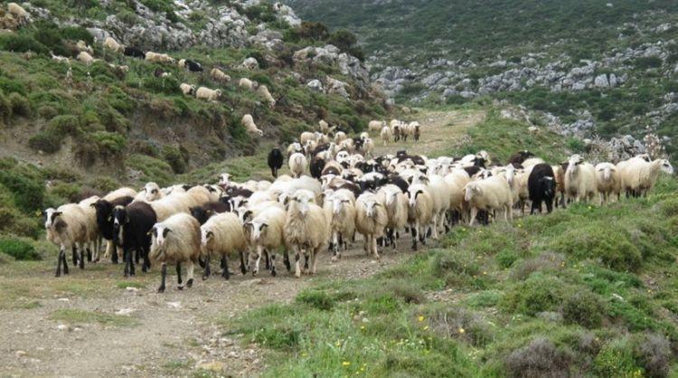 Αιτωλοακαρνανία: Ετήσια απογραφή ζωικού κεφαλαίου αιγοπροβάτων και χοίρων