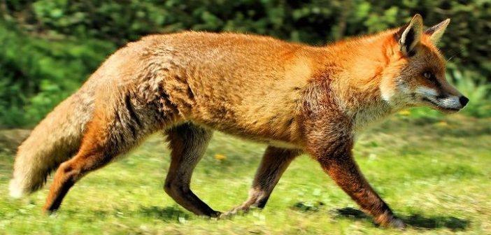 Αιτωλοακαρνανία: Το πρόγραμμα εναέριου εμβολιασμού των κόκκινων αλεπούδων