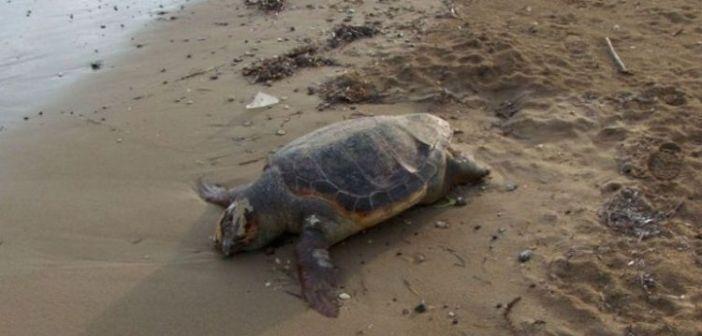 Θαλάσσια χελώνα εντοπίστηκε νεκρή, δεμένη με σχοινί στην πλαζ του Λούρου! (ΔΕΙΤΕ ΦΩΤΟ)