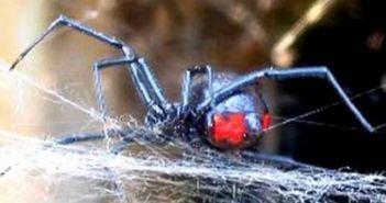 Δυτική Ελλάδα: Κρούσματα από Μανωλάδα που δημιουργούν υποψία για τσιμπήματα από μαύρη αράχνη!