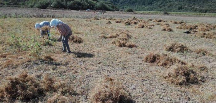 Θλίψη και απελπισία για τους καλλιεργητές λαθυριών της Καρυάς