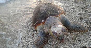 Δυτική Ελλάδα: Η θάλασσα ξεβράζει νεκρές χελώνες – Δεύτερο περιστατικό σε ένα 24ωρο! (ΔΕΙΤΕ ΦΩΤΟ)