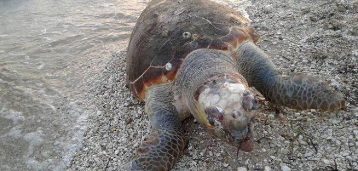 Νεκρή θαλάσσια χελώνα στον Μύτικα (ΔΕΙΤΕ ΦΩΤΟ)