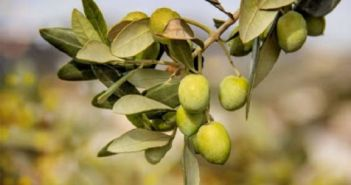 Τιμοκατάλογος παραλαβής για τις πράσινες και τις ξανθές ελιές από την Ένωση Αγρινίου
