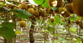 Δ/νση Αγροτικής Οικονομίας & Κτηνιατρικής Αιτωλοακαρνανίας: Ενημέρωση στους συναλλασσόμενους εμπορίας ακτινιδίων