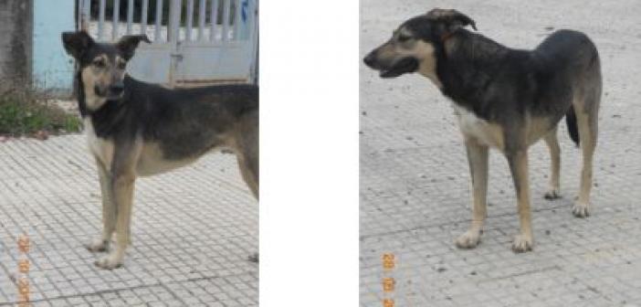 Χάθηκε σκυλί στο Αγρίνιο (ΔΕΙΤΕ ΦΩΤΟ)