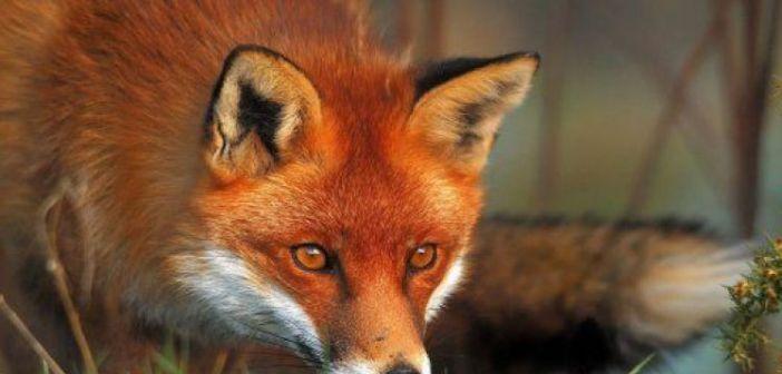 Εναέριος εμβολιασμός κόκκινων αλεπούδων σε περιοχές της Αιτωλοακαρνανίας