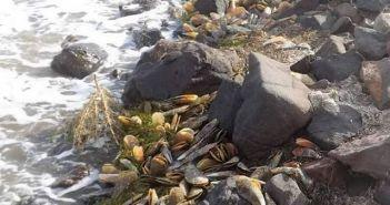 Πίννα (Pinna nobilis) – Άλλο Ένα Θαλάσσιο Είδος Κοντά στον Αφανισμό (ΔΕΙΤΕ ΦΩΤΟ)
