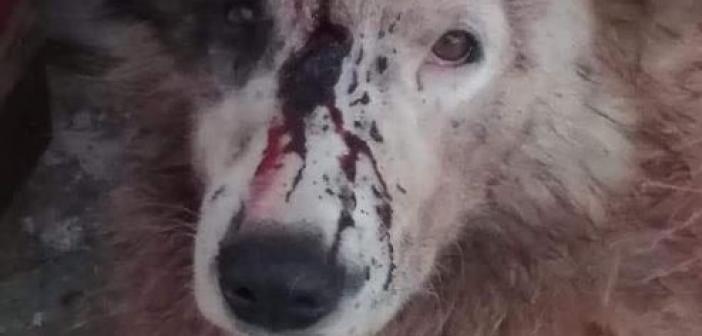 Κακοποίησαν σκύλο στην Κομπωτή Ξηρομέρου – Έκκληση της Φιλοζωικής Οργάνωσης Αγρινίου για μαρτυρίες κατοίκων (ΔΕΙΤΕ ΦΩΤΟ)