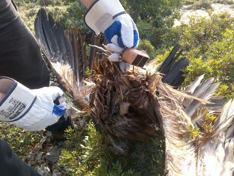 Εντοπισμός πομπού από νεκρό όρνιο (Gypsfulvus) στα Ακαρνανικά Όρη (ΔΕΙΤΕ ΦΩΤΟ)