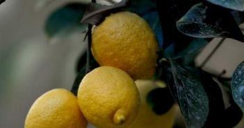 ΕΛΣΤΑΤ: Στη Δυτική Ελλάδα προτιμούν τα λεμόνια – Μειώθηκαν οι εκμεταλλεύσεις σε όλα τα είδη οπωροφόρων δένδρων