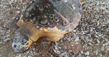 Βόνιτσα: Νεκρή εντοπίστηκε θαλάσσια χελώνα στη παραλία (ΔΕΙΤΕ ΦΩΤΟ)