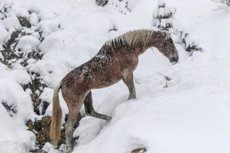 Μαγική εικόνα! Άγρια άλογα μέσα στα χιόνια (ΔΕΙΤΕ ΦΩΤΟ)