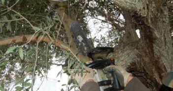 Ένωση Αγρινίου – Κλάδεμα ελιάς: Αναλυτικός οδηγός για τους παραγωγούς
