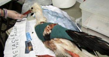 Κυνηγοί τραυμάτισαν σπάνιο πελαργό στο Μεσολόγγι (ΦΩΤΟ)