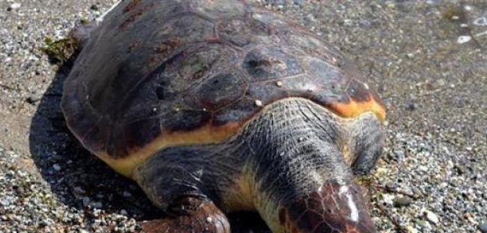 Δυτική Ελλάδα: Δύο νεκρές caretta – caretta στην παραλία