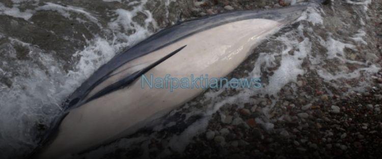 Ναύπακτος: Αγωνιώδεις προσπάθειες διάσωσης νεαρού δελφινιού δίπλα στην άψυχη μητέρα του (ΔΕΙΤΕ VIDEO)