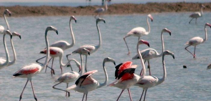 Τα φλαμίνγκο στη λιμνοθάλασσα του Μεσολογγίου (ΔΕΙΤΕ ΦΩΤΟ)