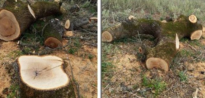 Λαθροϋλοτόμοι έκοψαν αιωνόβιες βελανιδιές στον Πρόδρομο Ξηρομέρου (ΔΕΙΤΕ ΦΩΤΟ)