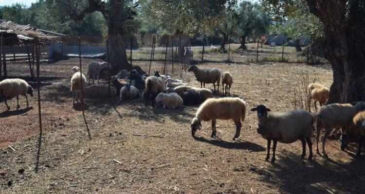 Ένωση Αγρινίου: Ευζωία των ζώων και υποχρεώσεις των κτηνοτρόφων – Η κατάσταση στην Αιτωλοακαρνανία