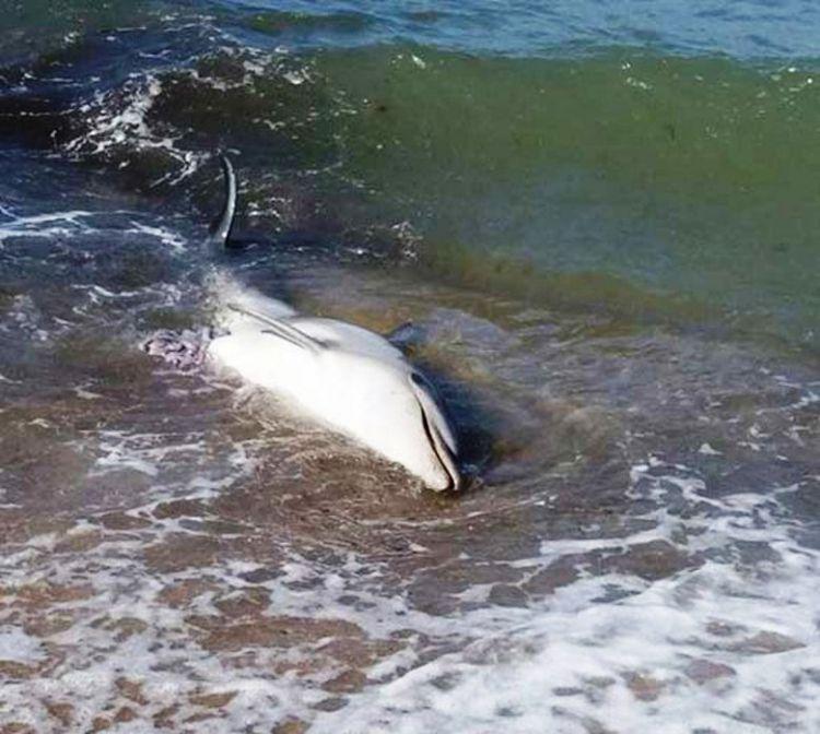 Ναύπακτος: Η ανακοίνωση του Λιμενικού για το νεκρό δελφίνι στην παραλία του Πλατανίτη
