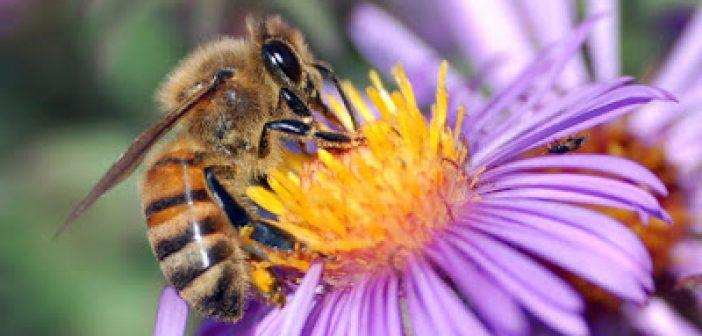 Αν οι μέλισσες εξαφανιστούν, το ανθρώπινο είδος θα εξαφανιστεί μέσα σε τέσσερα χρόνια