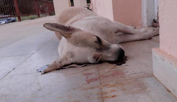Νεκρά από φόλες έξι σκυλιά στο Μεσολόγγι (ΣΚΛΗΡΕΣ ΕΙΚΟΝΕΣ)