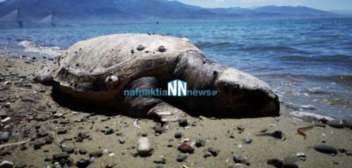 Νεκρή χελώνα καρέτα – καρέτα στην παραλία του Αντιρρίου (VIDEO)