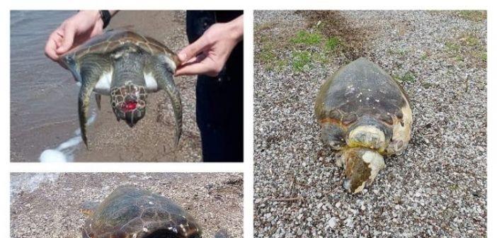"""Νεκρές & τραυματισμένες χελώνες Caretta caretta στο Εθνικό Πάρκο Λιμνοθάλασσας Μεσολογγίου"""" (ΦΩΤΟ)"""