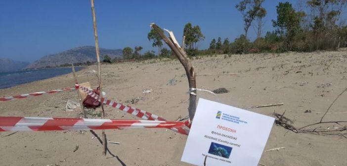 Εύρεση πρώτης φωλιάς χελώνας Caretta – caretta για το 2019 στην αμμολουρίδα του Λούρου (ΔΕΙΤΕ ΦΩΤΟ)