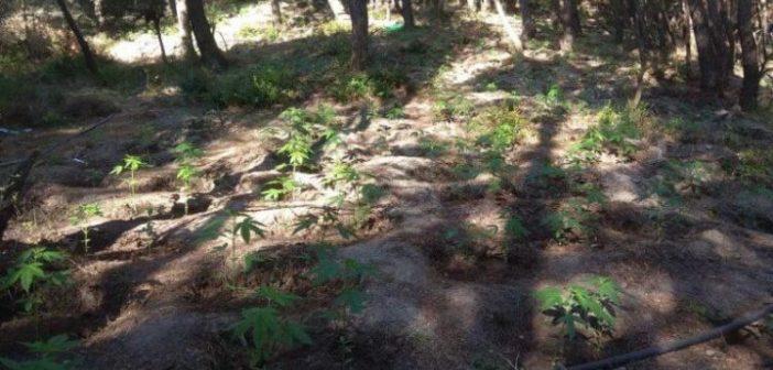 Τρίκορφο Φωκίδας: Χασισοκαλλιεργητές με καλάσνικοφ και χειροβομβίδες! Δύο συλλήψεις