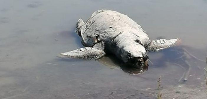 Νεκρή η μεγαλύτερη χελώνα που εθεάθη ποτέ στον Αμβρακικό (ΔΕΙΤΕ ΦΩΤΟ + VIDEO)