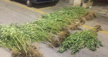 Σύλληψη 36χρονου στο Αγρίνιο για γλάστρες με δενδρύλια κάνναβης