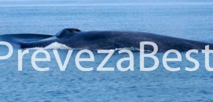 Πρέβεζα: Φάλαινα στην θαλάσσια περιοχή της Καστροσυκιάς (ΦΩΤΟ)