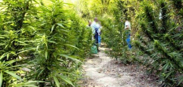 Δυτική Ελλάδα: Μεγάλη επιχείρηση της ΕΛ.ΑΣ για ναρκωτικά – Εντοπίστηκαν εκατοντάδες δενδρύλλια χασίς – Τρεις συλλήψεις