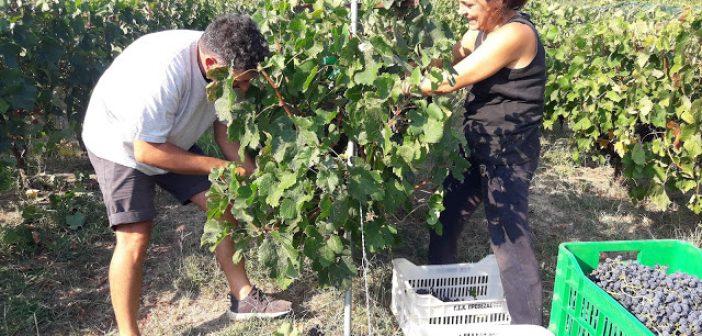 Βόνιτσα: Ο τρύγος στα Παλιάμπελα (ΔΕΙΤΕ ΦΩΤΟ)