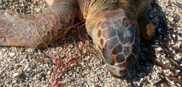 Λευκάδα: Χελώνα καρέτα – καρέτα νεκρή στην περιοχή της Γύρας (ΔΕΙΤΕ ΦΩΤΟ)